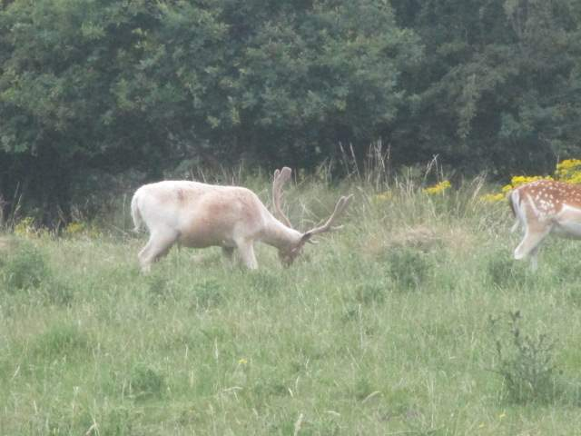 A whitish stag