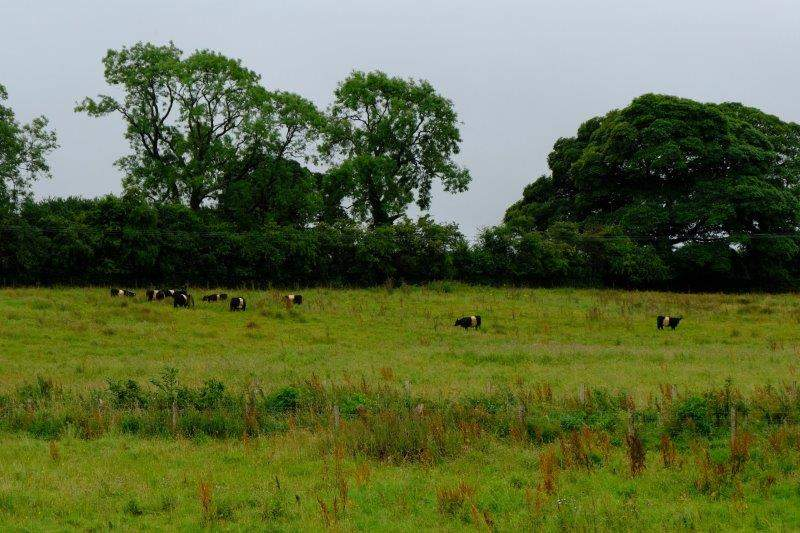 A small herd of belted Galloway cattle
