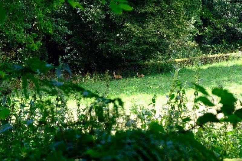 Deer spotted across the field