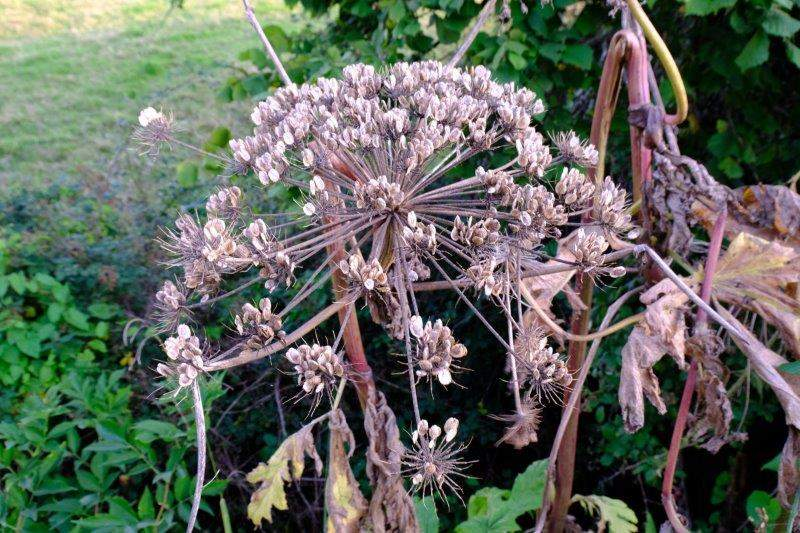 Giant hogweed gone to seed