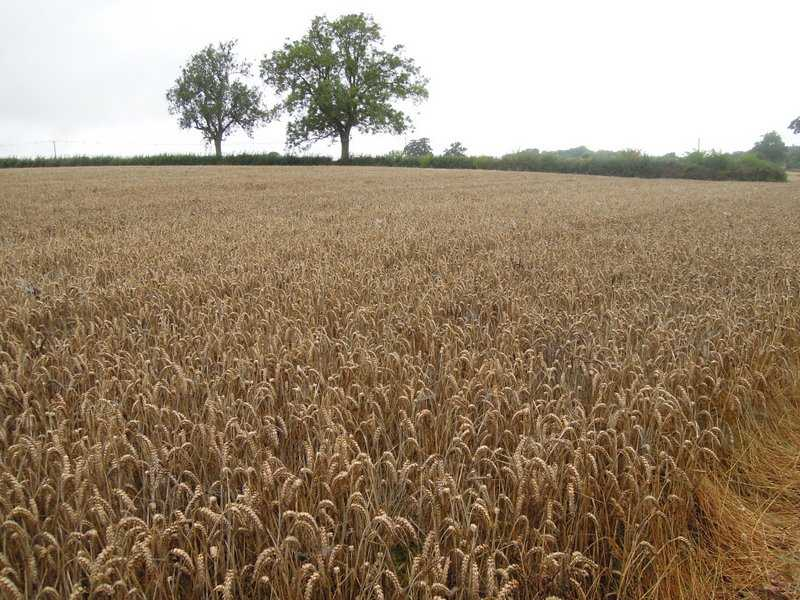The crop is ready to harvest