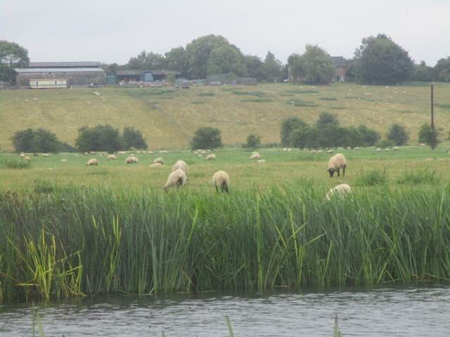 Sheep may safely graze (as long as they don't fall in the river)