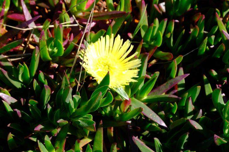 Hottentot fig, we're told