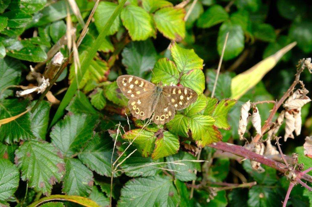 And a speckled wood (thanks, Angela)