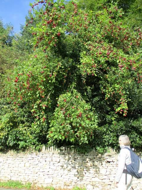 Only it isn't - it's crab apples.