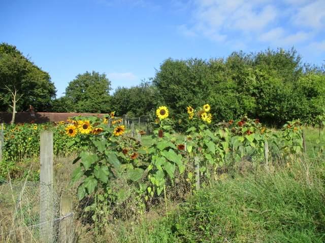 Lots of sunflower, several varieties