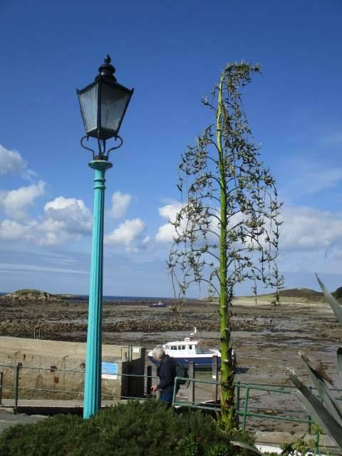 An echium as tall as a lamp post