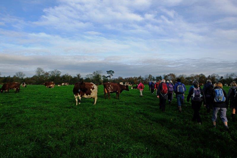 Through a herd of friendly cows