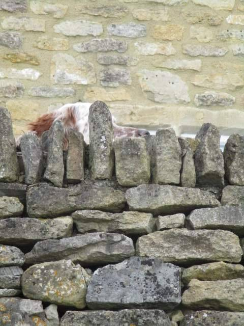 Dog camouflaged by dry stone wall