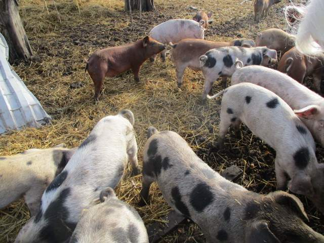Lots of Old Spot and Tamworth piglets