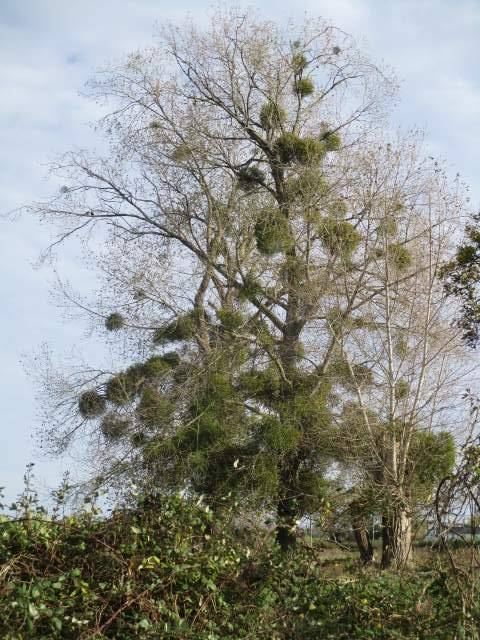 Loads of mistletoe but not very accessible