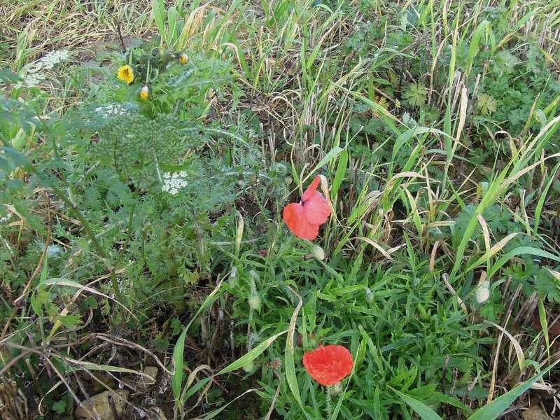 Poppies in November!