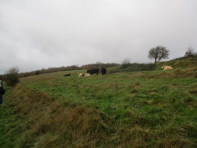Past peaceful cattle
