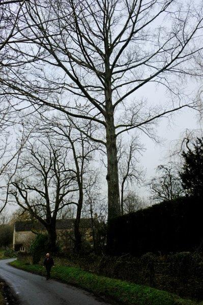 A rather splendid Poplar tree has Graham enthralled