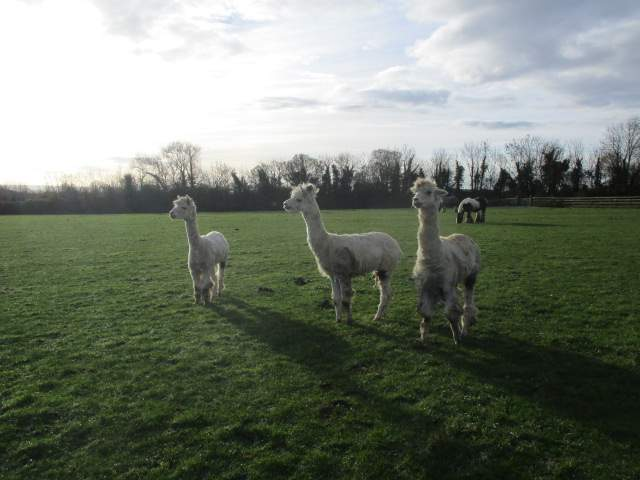 In the next field there are curious alpacas