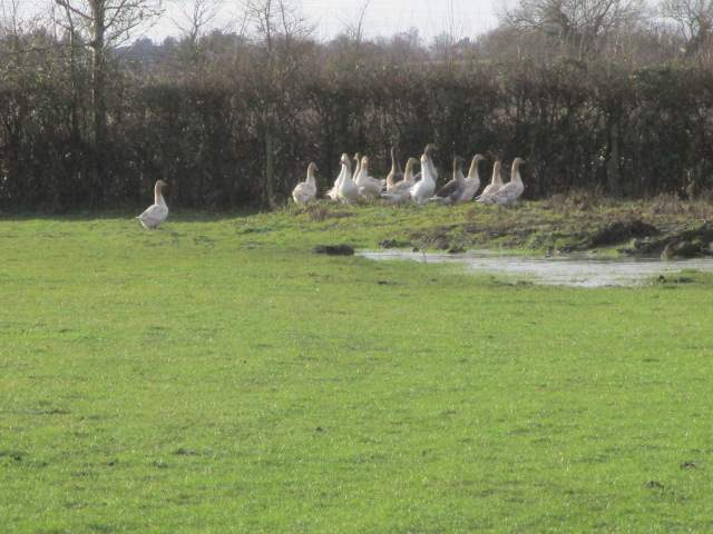 And not so curious geese - keeping out of sight as Christmas approaches
