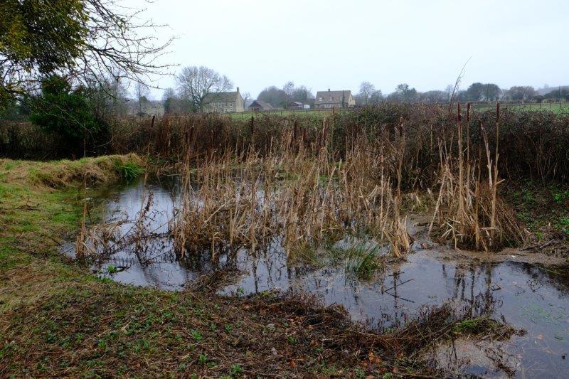 A bullrush pond
