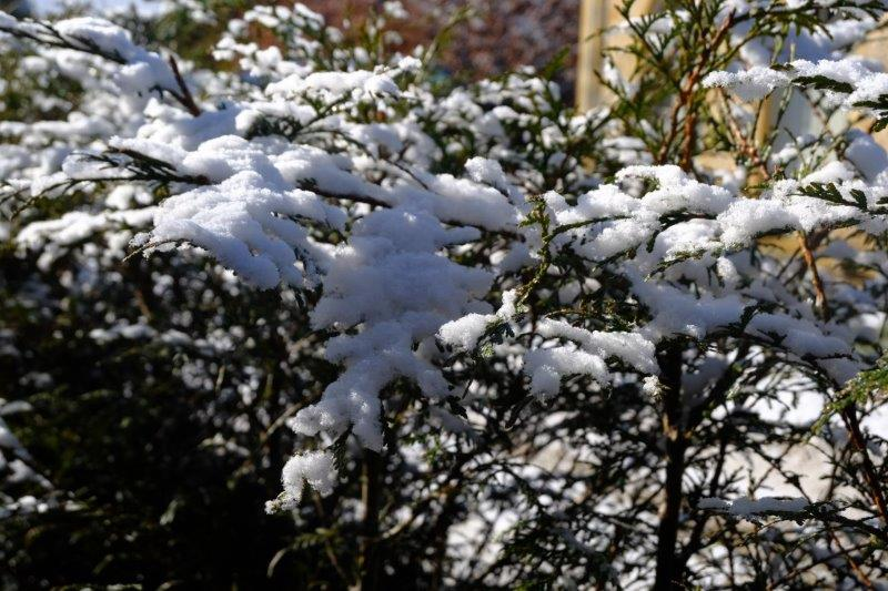 Snow clinging to the bushes