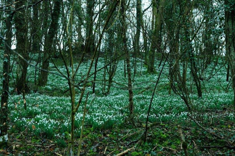 A lot of snowdrops