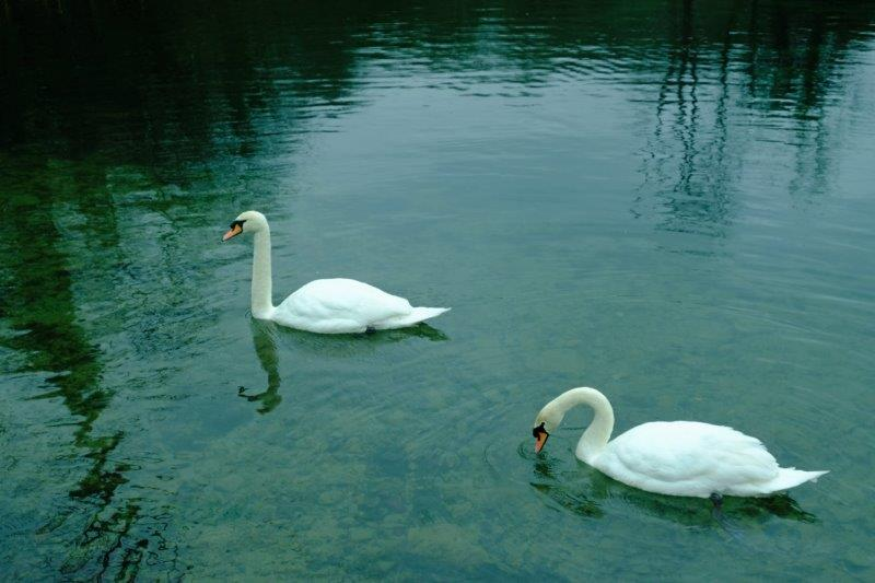 Where we are accosted by a pair of swans