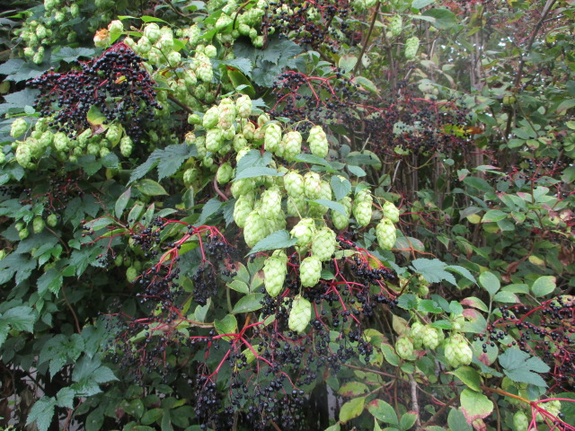 Wild hops and elderberries - very British