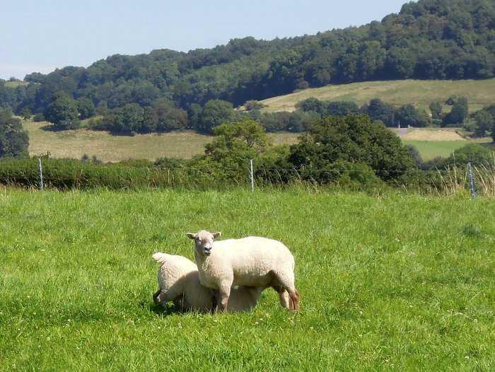 Large lamb still demanding from mother