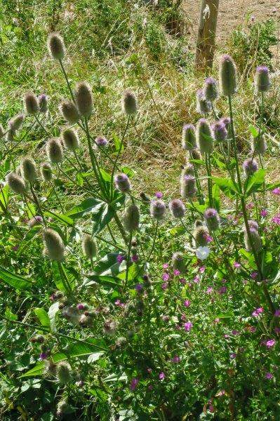Teasels growing by the side of a stream