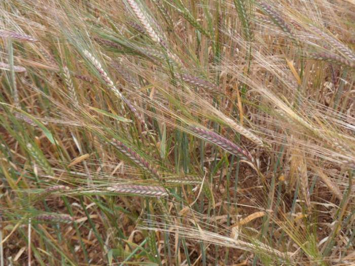 Amazing colours in this strain of barley