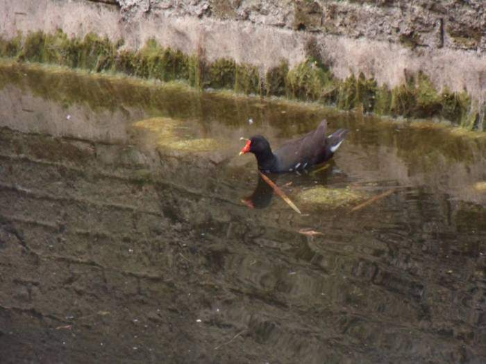 This moorhen has found the small amount of water still remaining