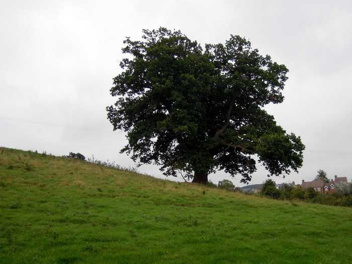 Some grand old oak trees