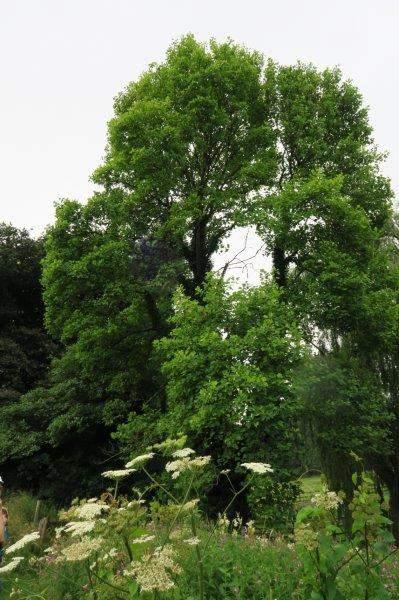 An American tree