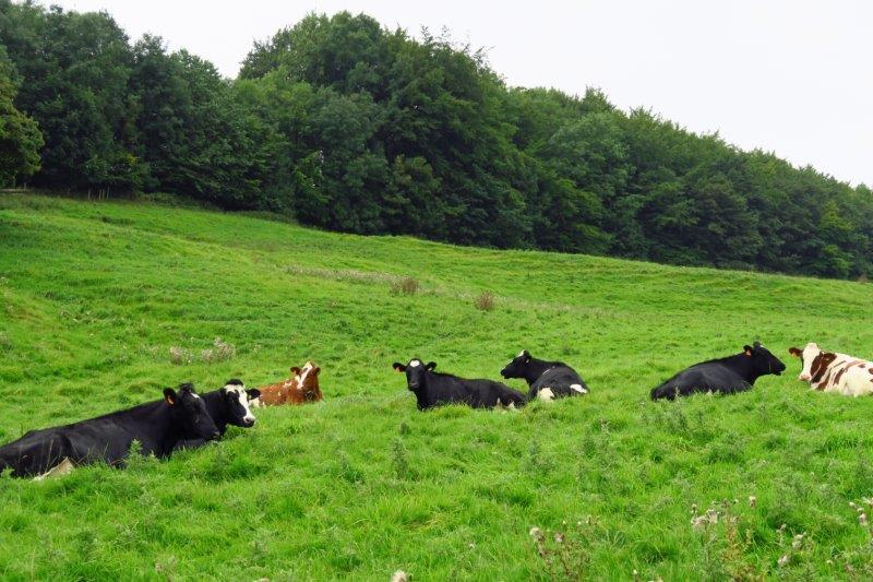 Cows lying down - rain expected