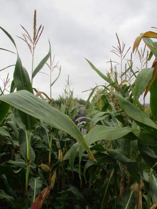 A short walk through some maize