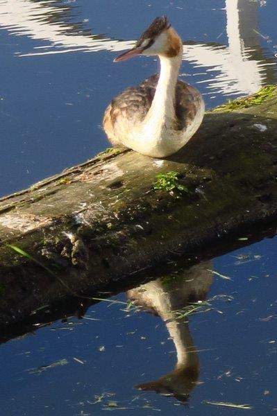 A crested grebe