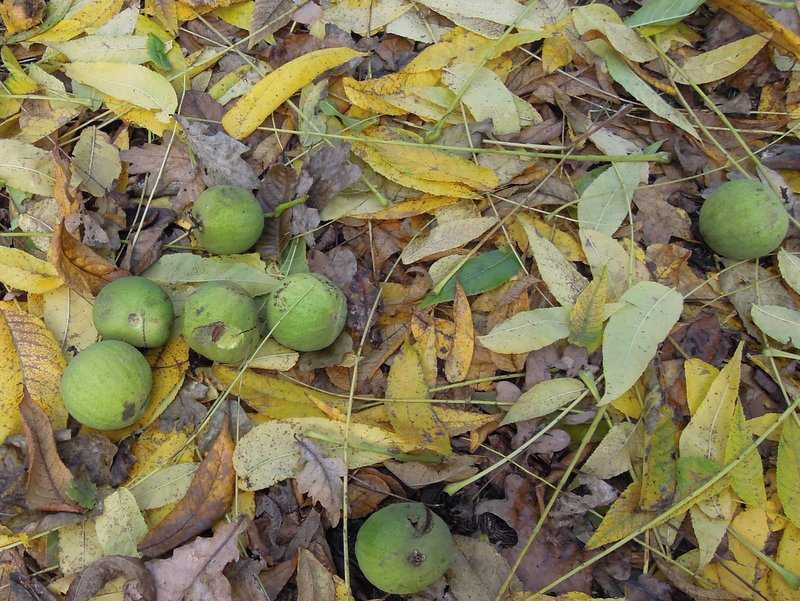With small hard fruits - they are American Black Walnuts - see bottom of page