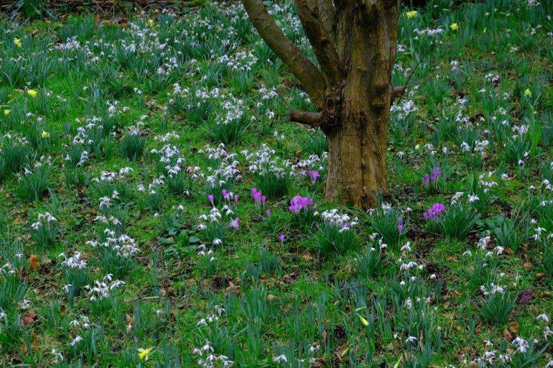 More snowdrops, crocuses and daffodils