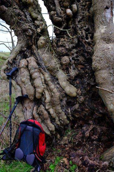 A gnarled old tree