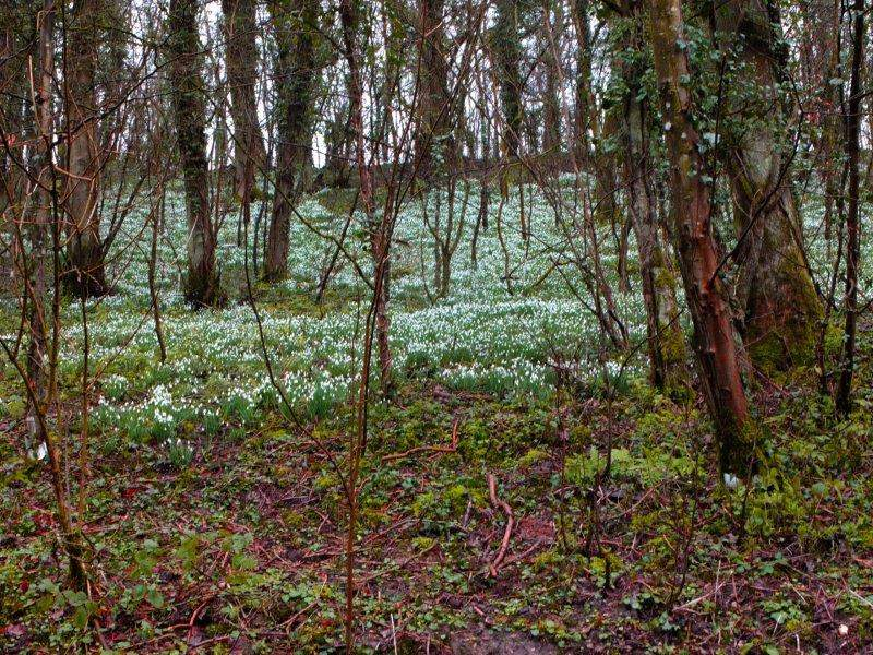 Where we see more snowdrops