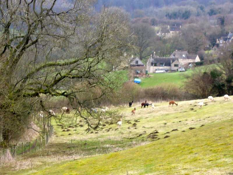 Down into Sheepscombe past the alpacas/vicunas/llamas* delete as inappropriate