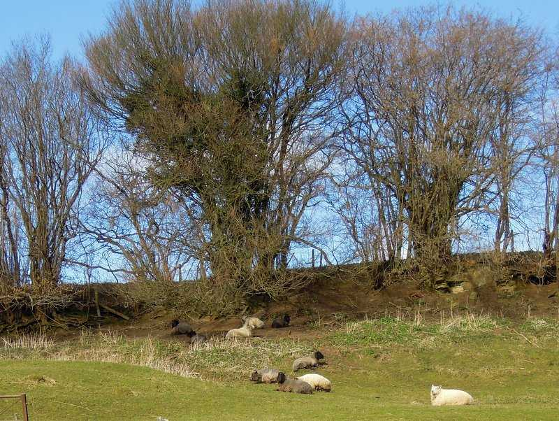 Sheep are enjoying the weather