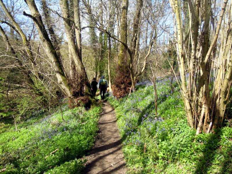 Bluebells flowering well