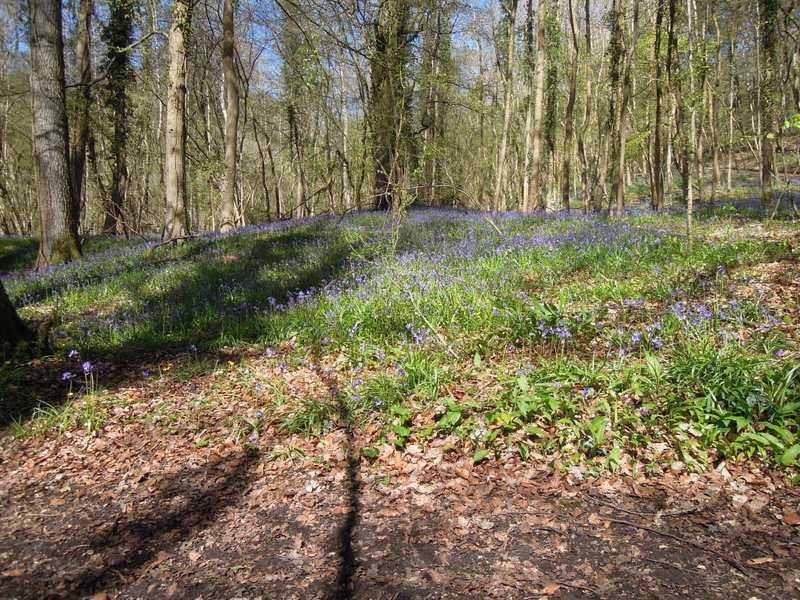 Masses of bluebells this season