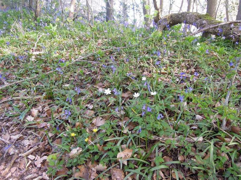 Wood anenomes, celandines and bluebells