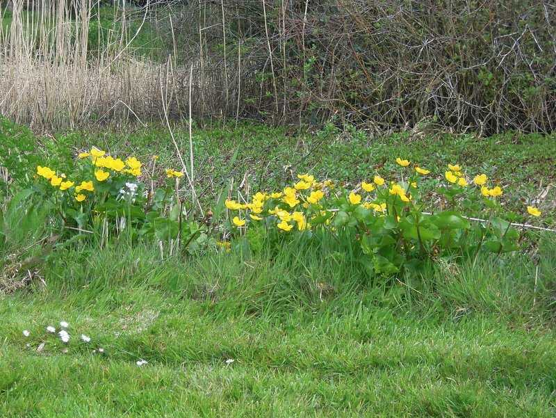 Marsh marigolds by the pond