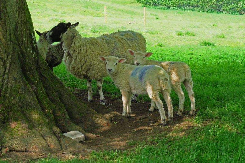 Past sheep looking for shade