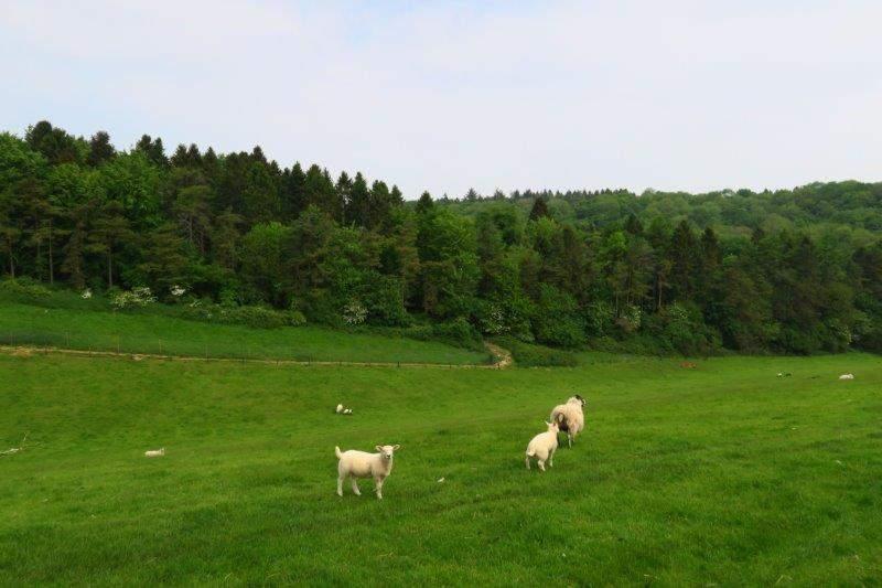 More sheep grazing