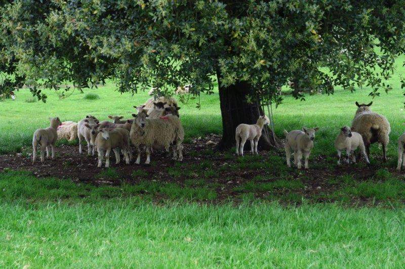 Sheep gathering under a tree