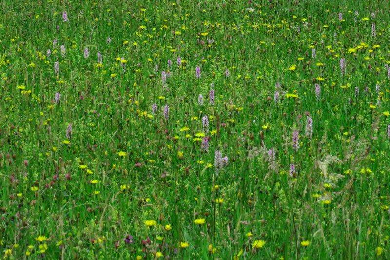 Then fields of orchids