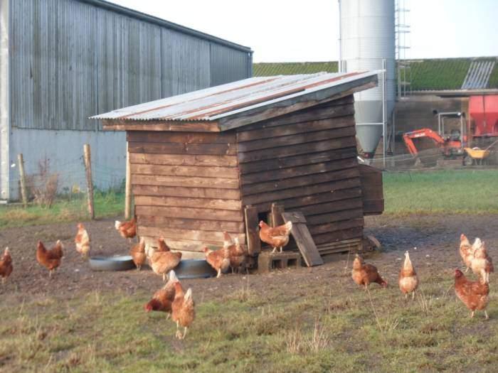 But plenty of chickens at Far Westrip Farm
