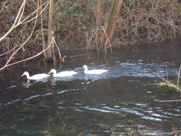 These aren't native ducks